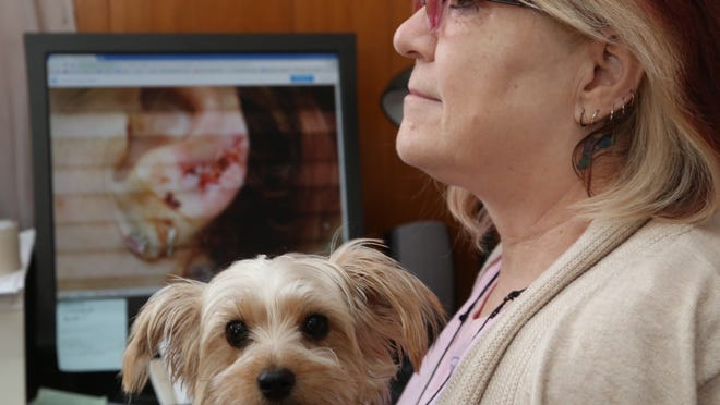 Dan Young/Daily Herald MediaCindy Ryder sits in front of a computer screen at her Wausau home on Friday that shows her ear after it was stitched up following an attack by a pit bull in June 2014. She is holding her dog, Daisy.