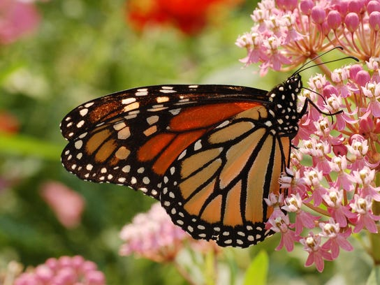 Monarch Butterfly Milkweed 2