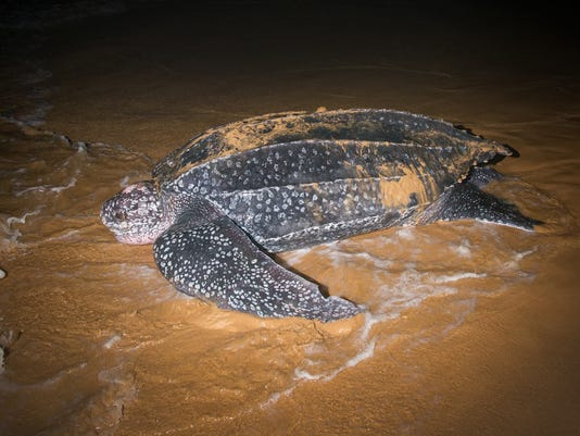 #stock Leatherback Sea Turtle Stock Photo
