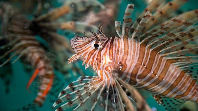 Lionfish swim in a tank at FGCU's Vester Field Station in Bonita Springs on Wednesday, November 8, 2017. Emma DeRoy, a grad student at the University of Windsor in Ontario, Canada, is visiting to do a lionfish study.
