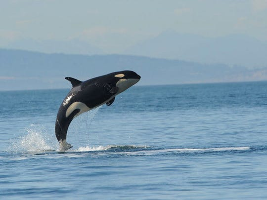 A 3-year-old orca known as L-112 shown here before