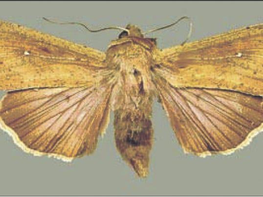 636434180685886151-Armyworm-moth.jpg