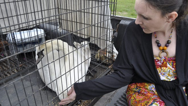 Elizabeth Koenig feeds formerly homeless swan Big Bird at All Creatures Veterinary Hospital before taking the Mute Swan to her Pine Bluff home Tuesday. Koenig agreed to adopt the bird after reading about its plight in a Baxter Bulletin article.