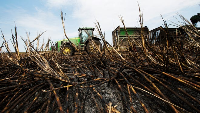 Burned sugar cane is harvested in Clewiston in April of 2015. Earthjustice and other environmentalists say the under-regulated burning of sugar cane violates the Clean Air Act, and that the industry is polluting South Florida air with toxic carcinogenics.