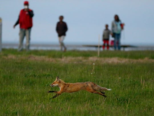 A fox runs through Lakeshore State Park in Milwaukee as people take photos with their mobile phones.