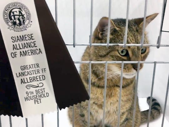 """Bob waits patiently for Mike Janiszewski after he is judged in the Household Pet categrory at the Greater Lancaster Feline Fanciers & Siamese Alliance of America """"Surf n' Siamese"""" CFA  Allbreed Cat Show at the York Expo Center Sunday May 27, 2018."""