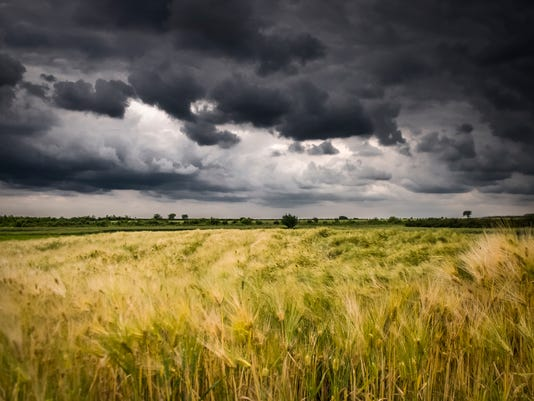 Field of wheat before the storm