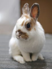 Percy the rabbit, one of the foster bunnies rescued