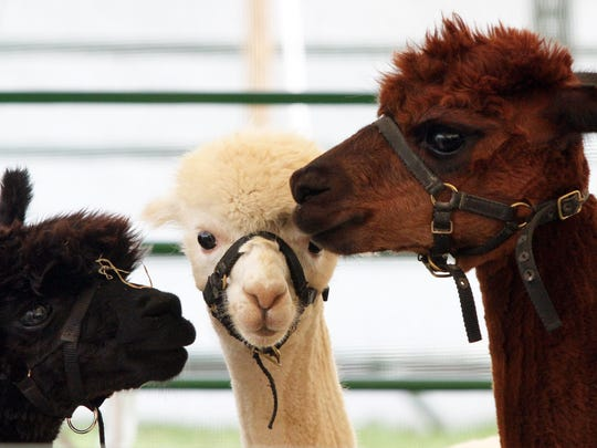 Opening day of the 2014 Somerset County 4-H fair: A trio of alpacas in a 4-H tent. Opening day at the 2014 Somerset County 4-H fair being held at North Branch Park in Bridgewater.   A trio of Alpaca's on display under the 4-H Alpaca and Cat Tent.  On Wednesday August 6 ,2014 Photo: Mark R. Sullivan/Staff Photographer