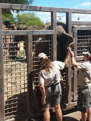 The keepers are getting ready to draw some blood from their cooperative patient.
