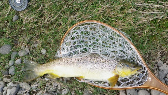 This trophy brown trout was taken in the Delaware River.