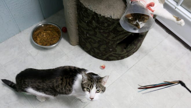 Flash, left, and Kari are available for adoption at Salem Friends of Felines on Monday, March 7, 2016. A law passed by the Oregon Legislature in 2013 requires animal rescue operations that take in more than 10 animals per year and solicit donations must register with the county. Only a dozen in Marion County, including Salem Friends of Felines, have registered so far.