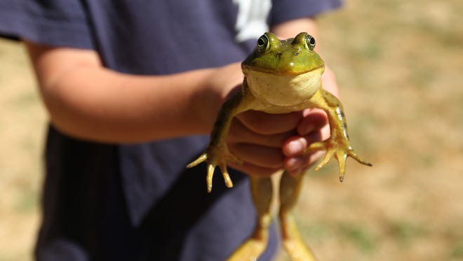 Micah Zehr, 5, of Jefferson, shows off his frog for the Jefferson Mint Festival and Frog Jump in Jefferson, Ore., on Saturday, July 15, 2017.