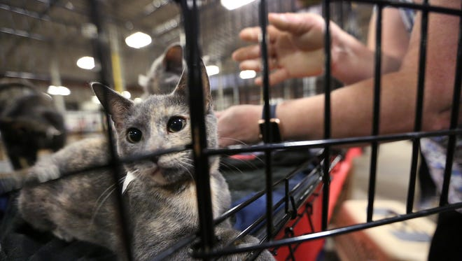 A cat looks out as its roommate gets taken for a meet and greet at the Mega Adoption event, Saturday, Oct. 14, 2017, at the Indiana State Fairgrounds.  The event brought over 1000 dogs and cats together with people looking for pets.