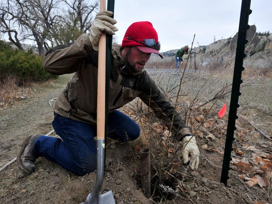 Joe Offer helps plant 80 cottonwood shoots were planted by the Friends of the Missouri Breaks Monument organization and the BLM at the Eagle Creek campground in the Missouri River Breaks Monument on Tuesday morning.