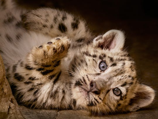 A playful snow leopard cub in 'Born in China.'