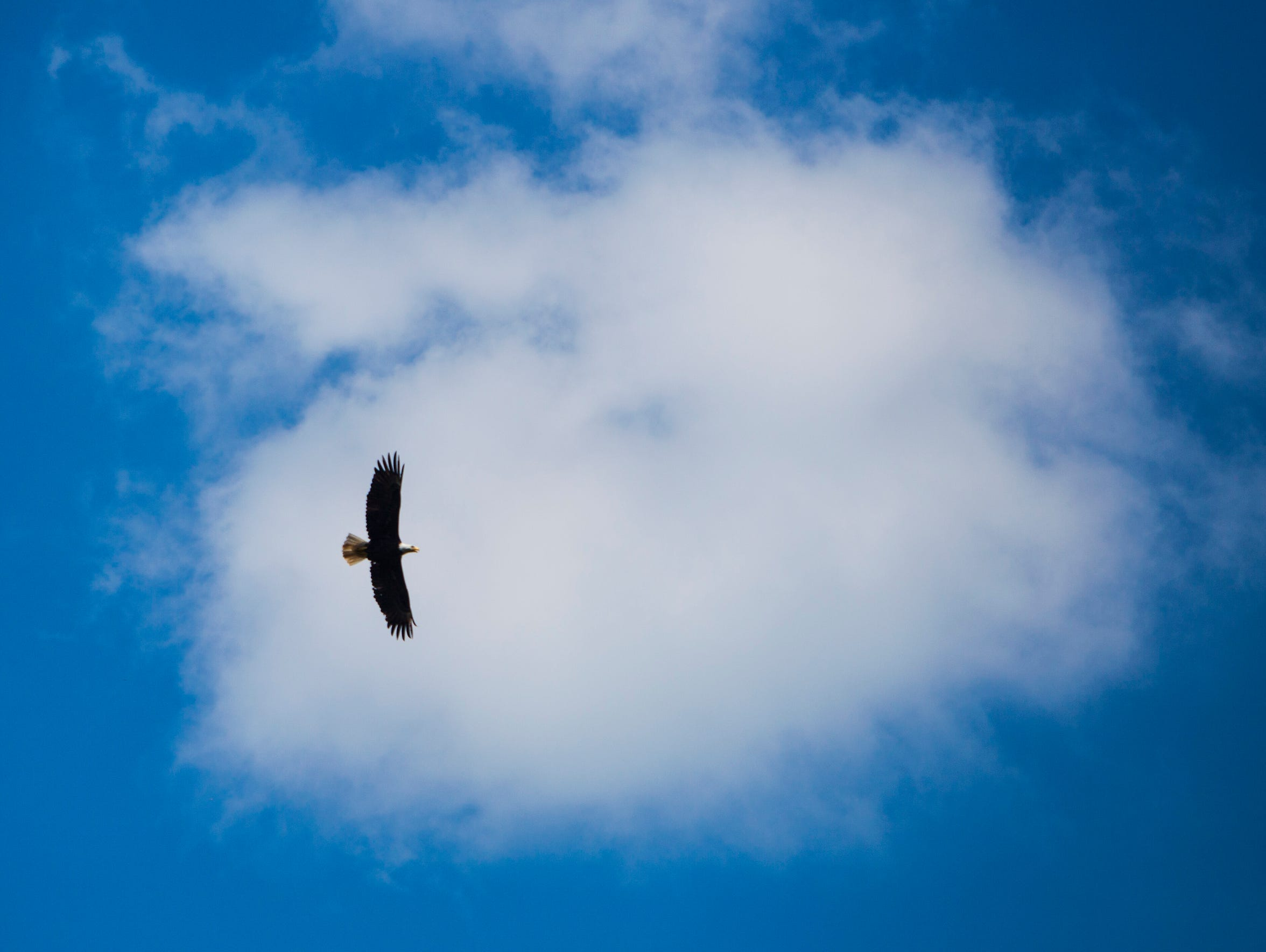 A bald eagle soars over the Eleven Point River on Thursday,