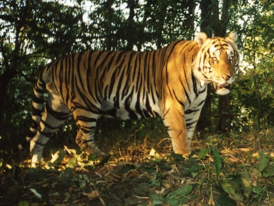 636099695497258178-Tiger-camera-trap-I.jpg