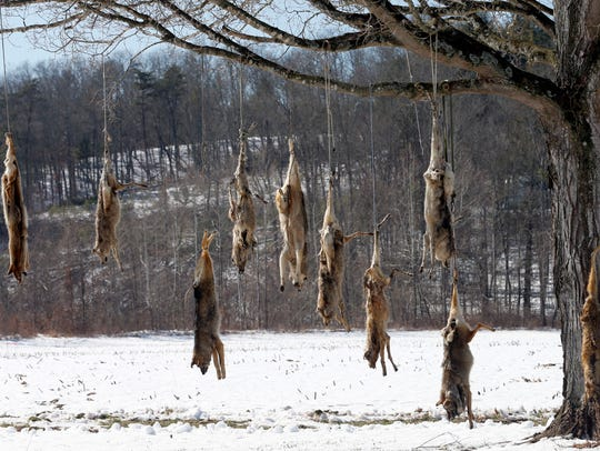 Coyote carcasses hang from branches on a tree in the