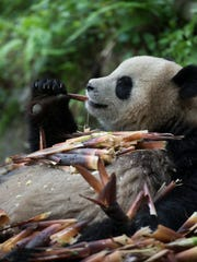 A giant panda chosen for a reintroduction program enjoys