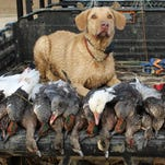 High breeding numbers among ducks have allowed Mississippi a 60-day season with plenty of promise.
