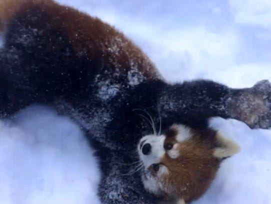 Panda squirms in the snow at the zoo.