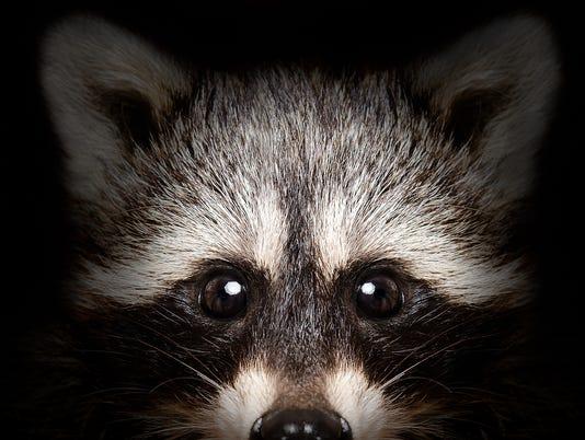 portrait of raccoon