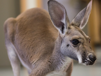 Win a Kangaroo Encounter