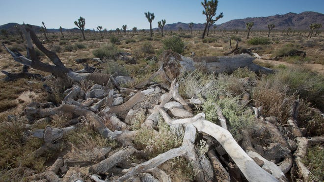 The remains of one of the largest Joshua trees ever documented are seen May 13 in the Queen Valley area of Joshua Tree National Park. Jim Cornett, a Palm Springs ecologist and nature writer, documented the tree as being 12.7 meters in height with a crown width of 10.4 meters with a trunk circumference of 2.64 meters in 1997.