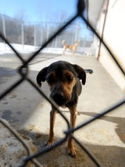 """""""Kermit"""" and """"Jenny"""" roam the outside pen at the Humane Society of richland County. They were two of three dogs rescued in the 100 block of Willow Street in Mansfield, the third dog did not survive."""