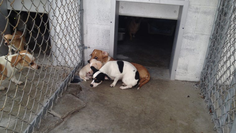 Eleven chihuahua-mix dogs were rescued from a vacant