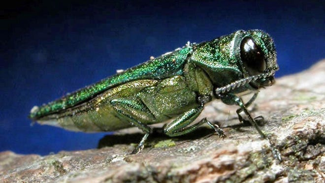 An adult emerald ash borer is about half-an-inch long, very narrow and metallic in color.