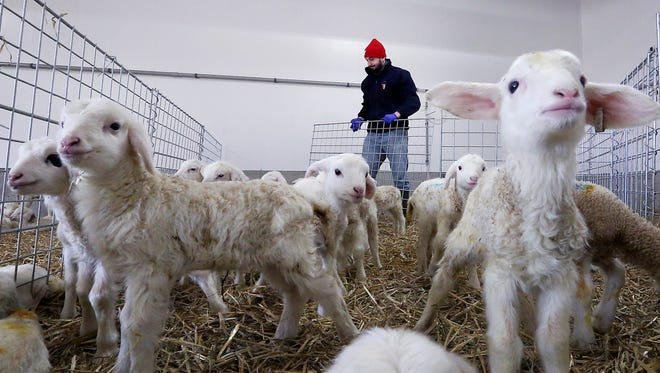 Luis Montellano tends pens containing week-old lambs born through an effort to introduce the Assaf breed of sheep into the United States at a farm run by Ms. J. & Co. in Juda, Wis. The $2 million project is designed to increase sheep's milk production in the state to help meet the demand from artisan cheesemakers.