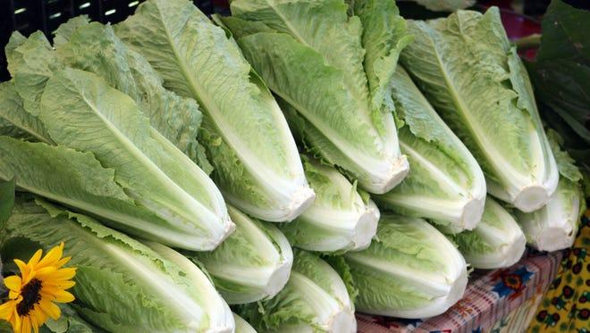Crisp Romaine lettuce. The white bottoms indicate freshness