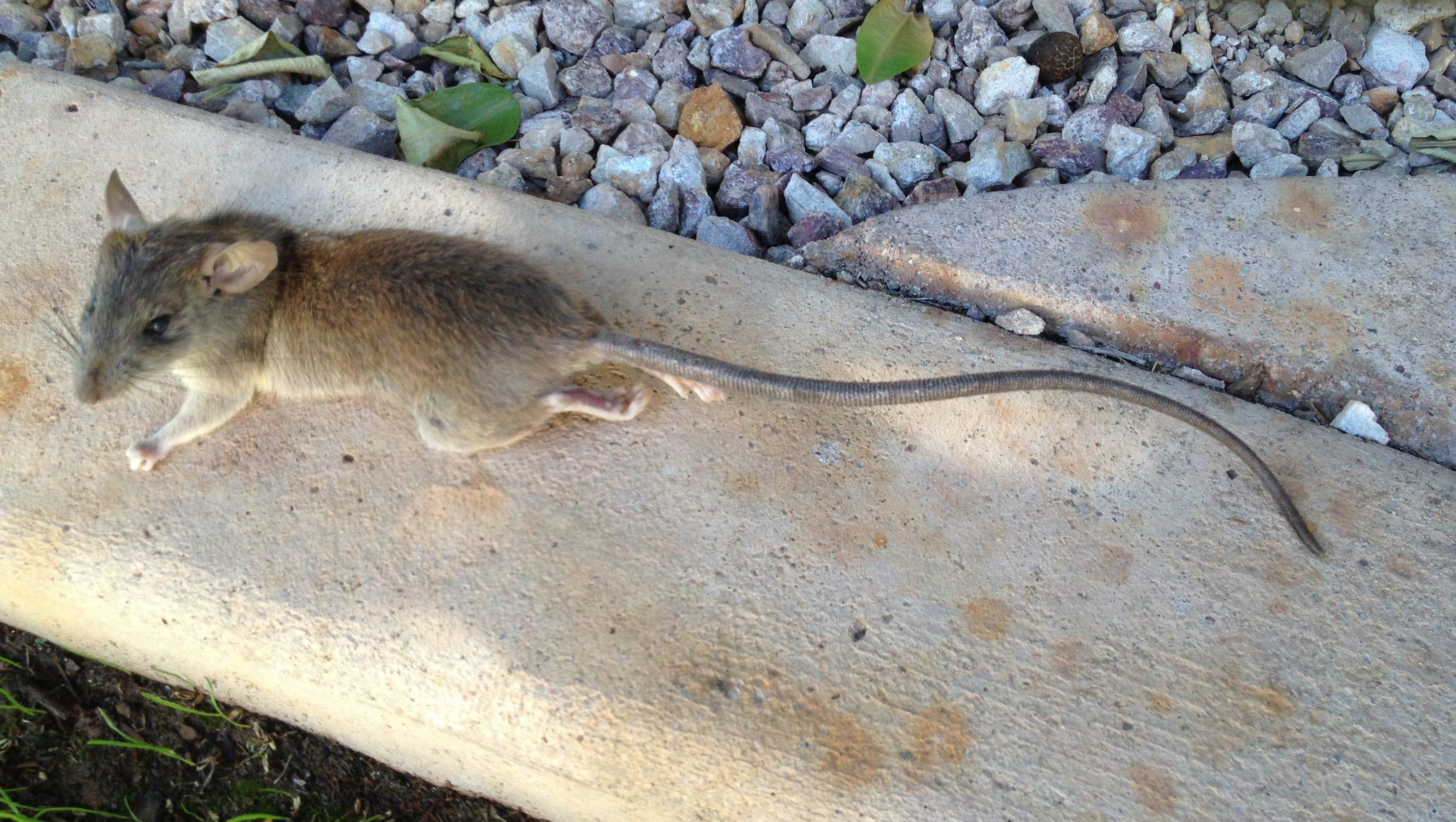All About Roof Rats: How Do You Handle Them?