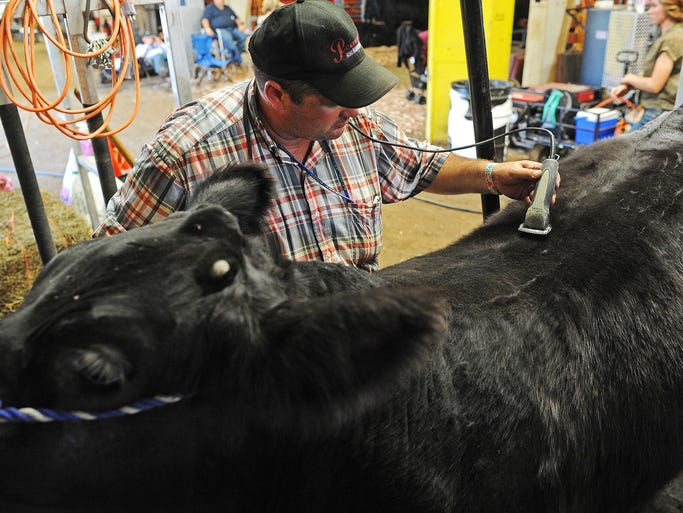 Chuck Ringkob, of Lake City, S.D., gets a steer ready for the Gelbvieh Beef Show on Friday, Aug. 29, 2014, at the South Dakota State Fair in Huron, S.D.