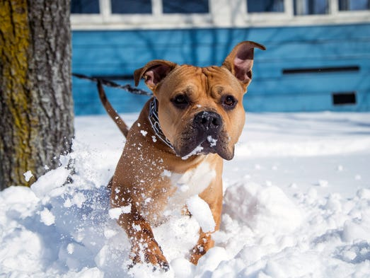 Kellz, a 1-year-old pitbull, bounds through the snow