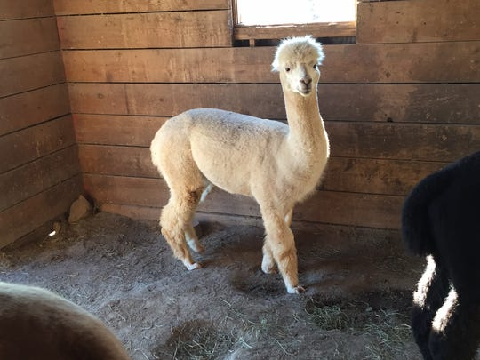 This white alpaca lives at Swallow Hill Farm in Hillsborough.