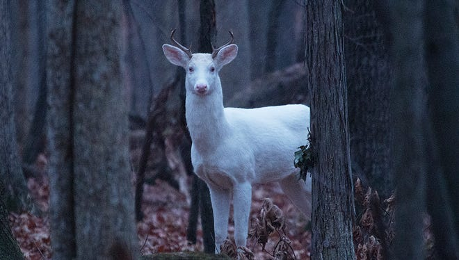 Genoa Township resident Gregory Miller took this photograph in December of a white deer that was shot and killed in February by Kensington Metropark police during a culling.