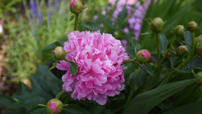 Ants can help peony buds by driving off pests.