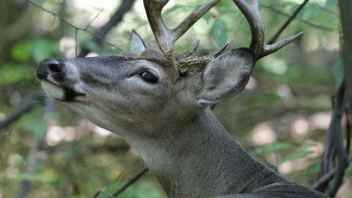 A whitetail deer rests at the Madison Heights Nature Center in Madison Heights on Sept. 13, 2012. The deer population at the University of Michigan-Dearborn is being culled.