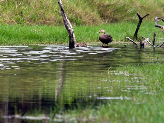 A pair of wading ducks make their way down one of the