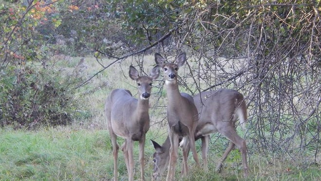 Hard mast trees can supplement winter forages in food plots to attract wildlife, such as white-tailed deer.