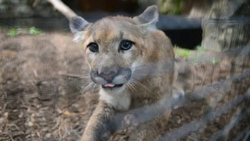 Mountain lion cubs are Bergen County Zoo's newest residents