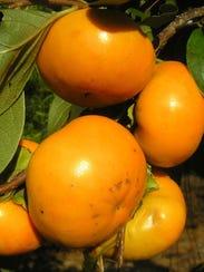 Izu persimmon.