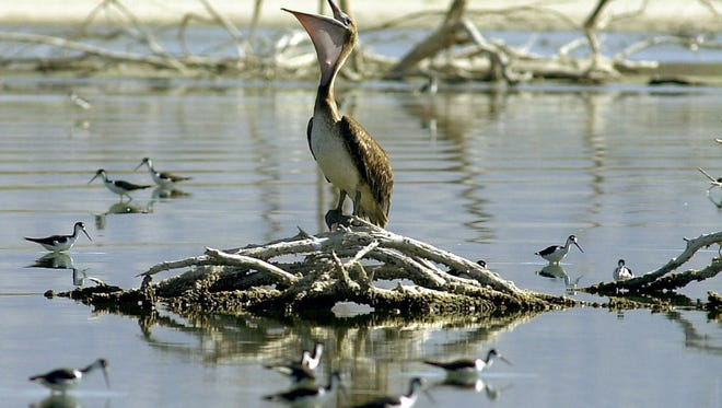 An endangered brown pelican shows its large neck cavity while surrounded by black-necked stilts at the northern end of the Salton Sea.