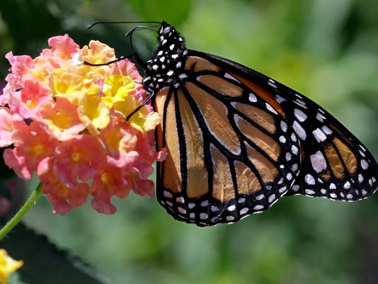 GWM Monarch Butterfly.jpg