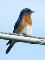 An eastern bluebird perches on a branch near Bells