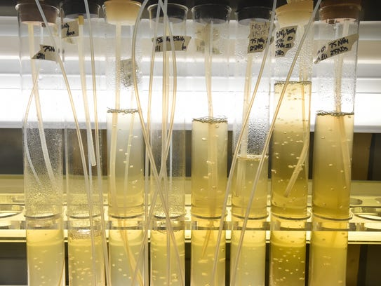 View of golden algae being studied by University of