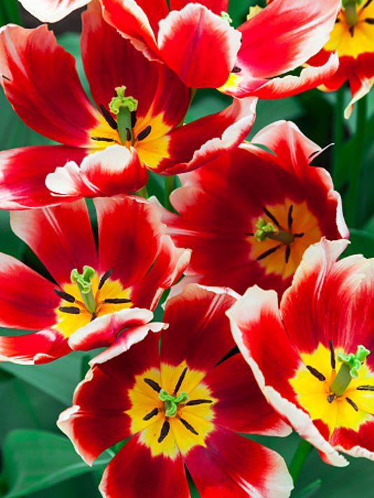 635878630954393923-open-tulips.jpg
